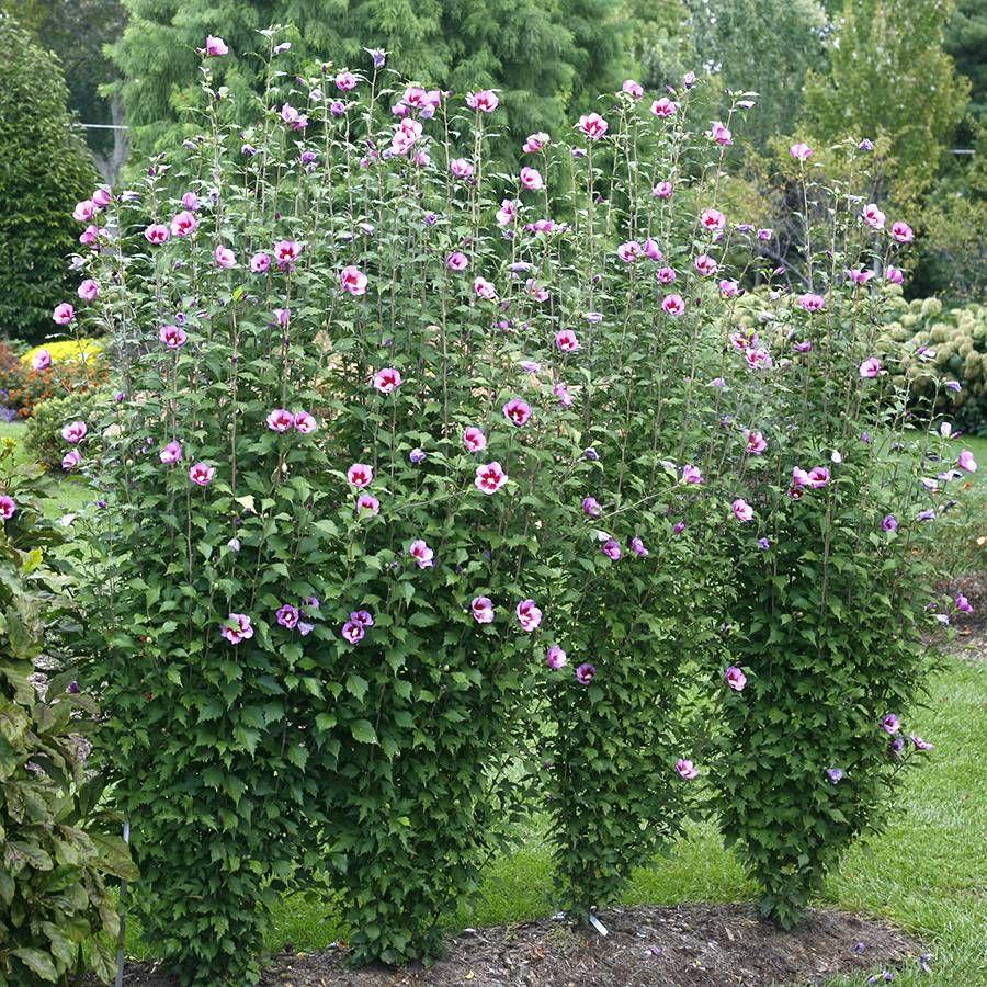 Hibiscus Purple Pillar™