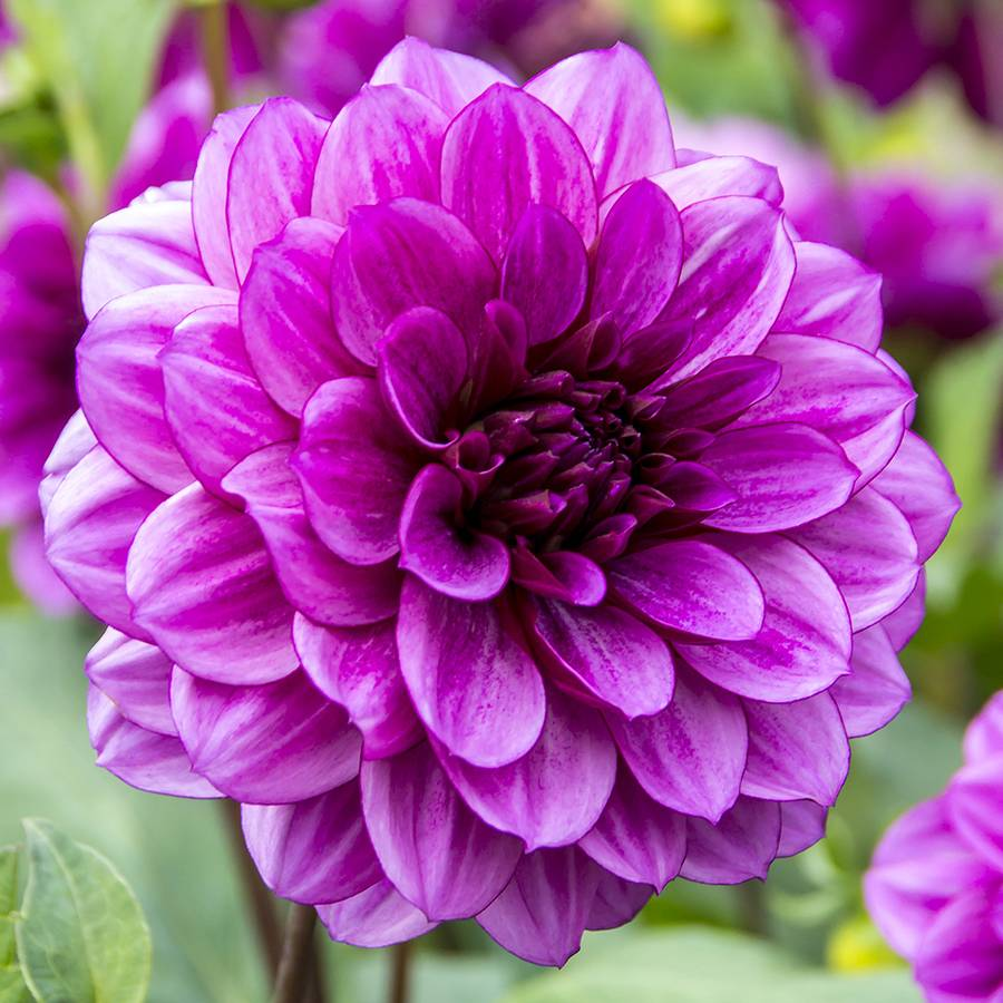 Dahlia Blue Bell At Jackson Perkins
