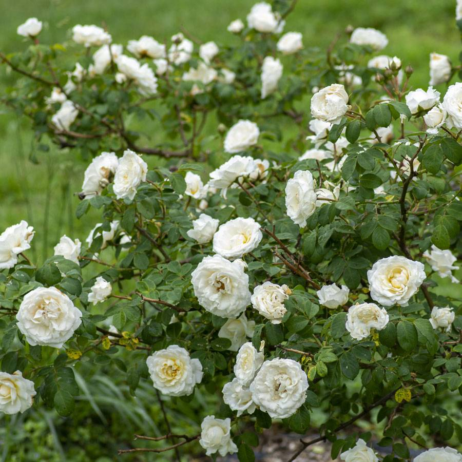 'Cloud 10' Climbing Rose
