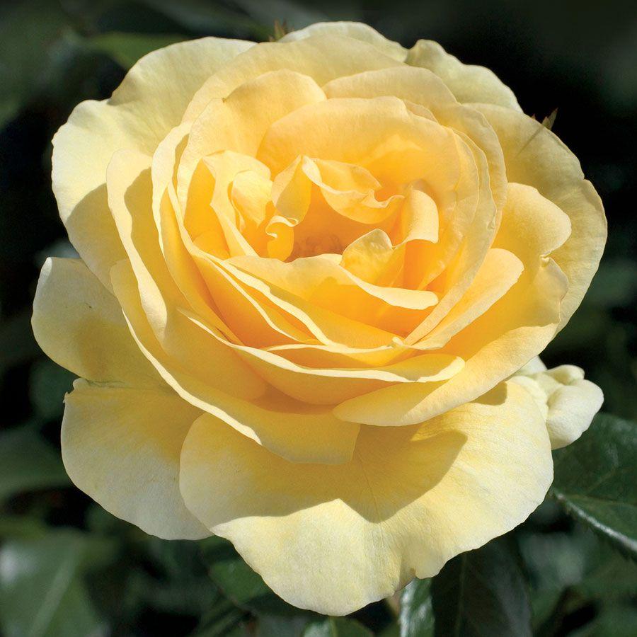 Sunshine Daydream Grandiflora Rose Image