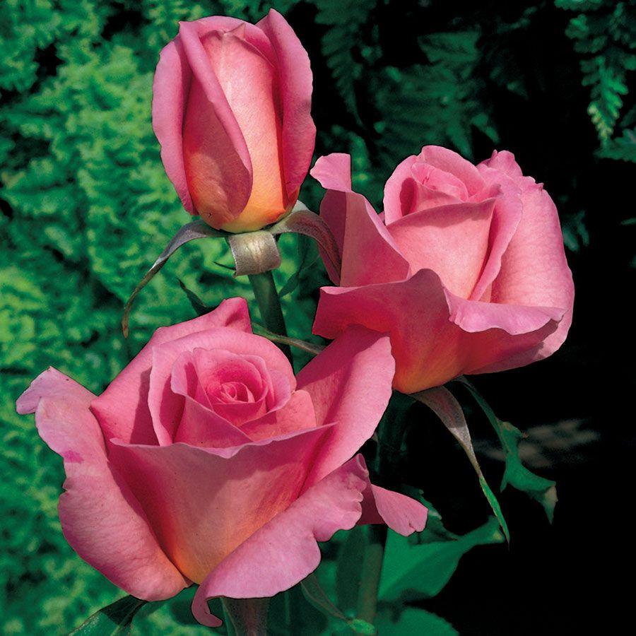 'Tiffany' Hybrid Tea Rose