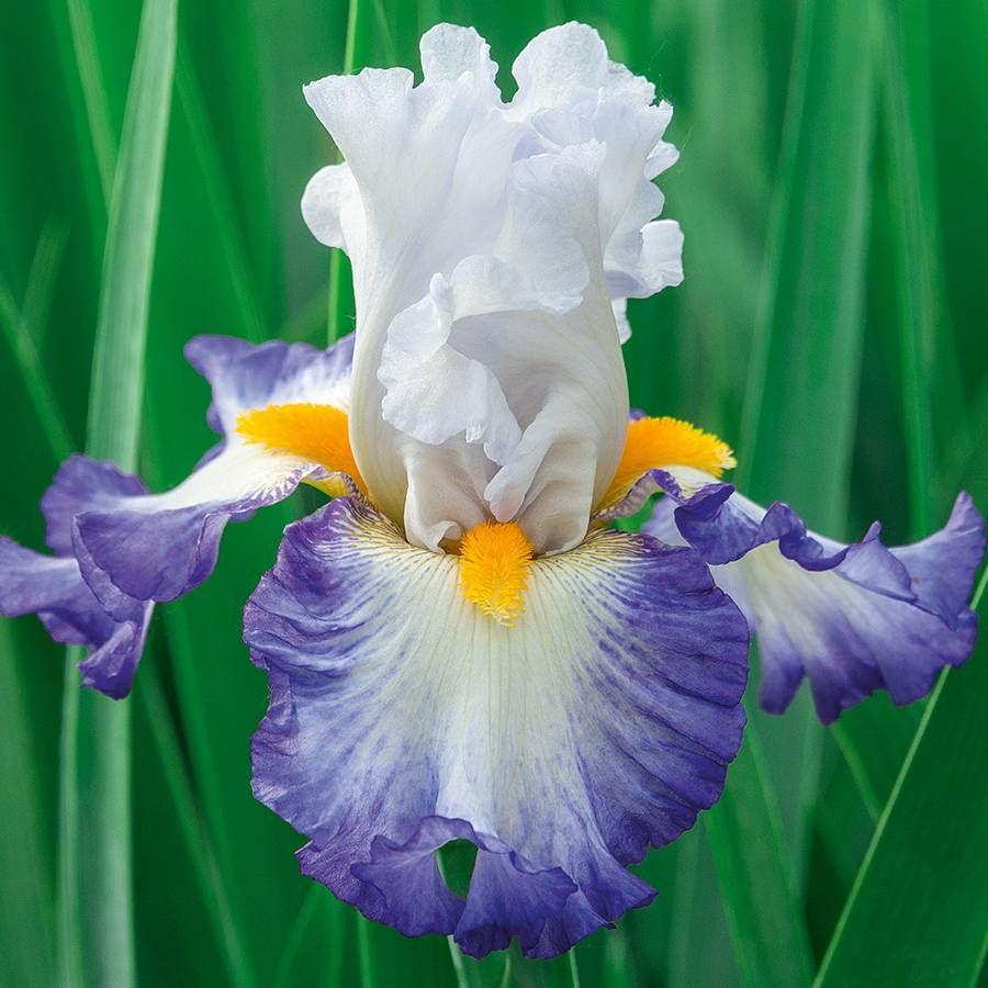 Iris germanica 'Brilliant Idea' Image
