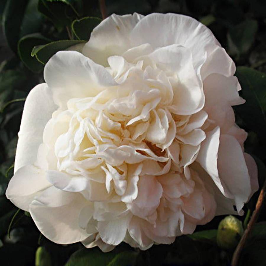 Camellia japonica Fifth Avenue Image