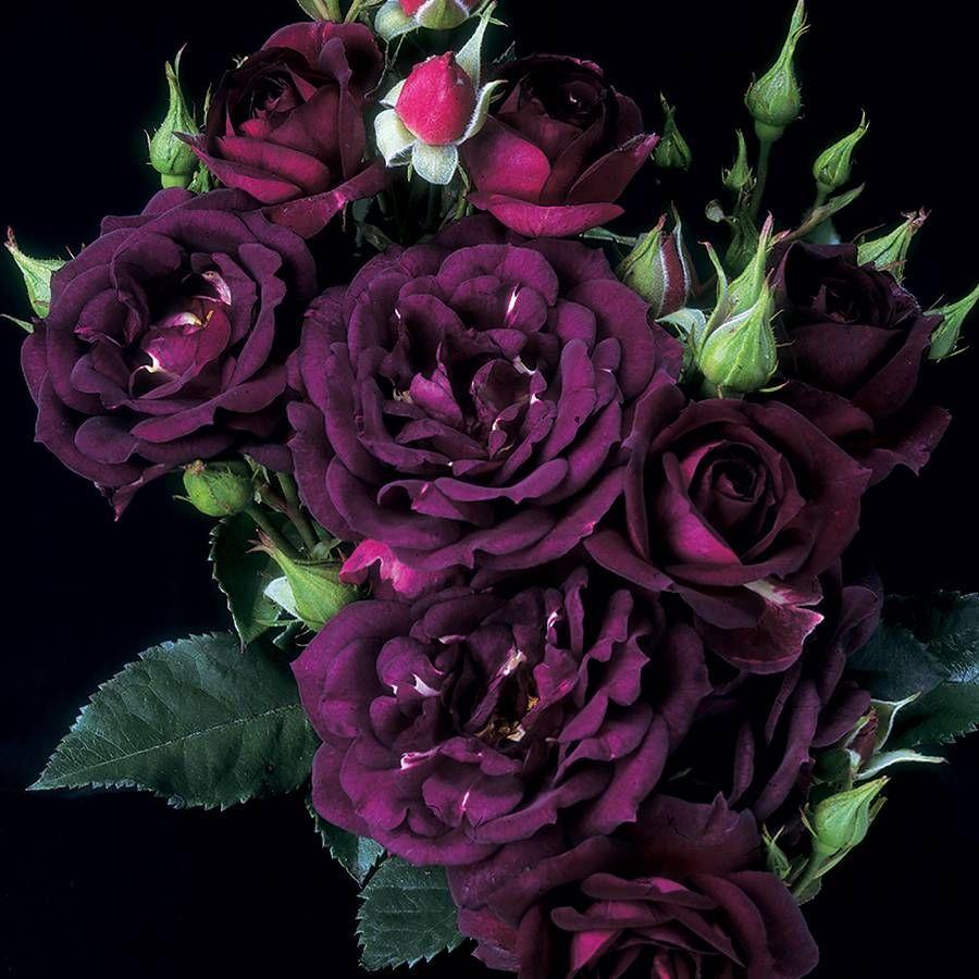 Midnight Blue™ Shrub Rose Image