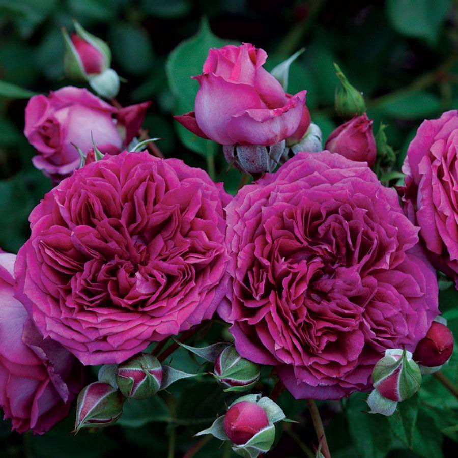 Like No Other Floribunda Rose Image