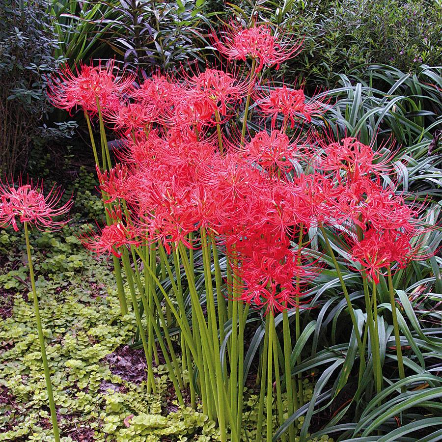 Lycoris radiata (Red Spider Lily) Image
