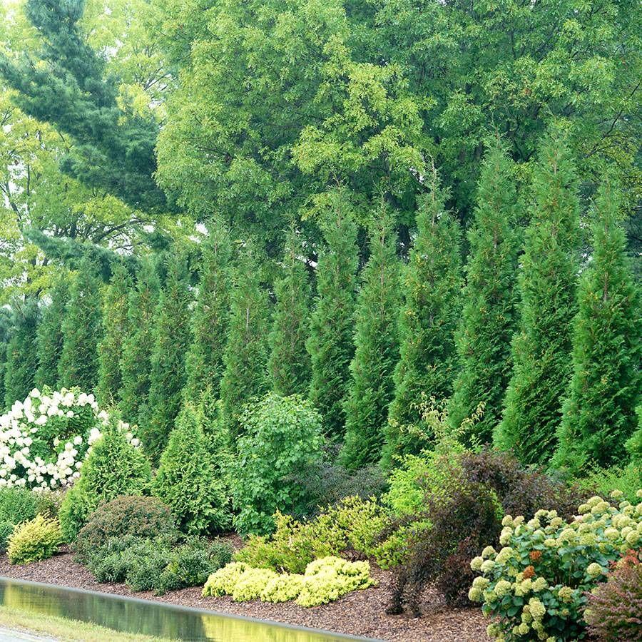 Thuja Full Speed A Hedge® 'American Pillar' Image