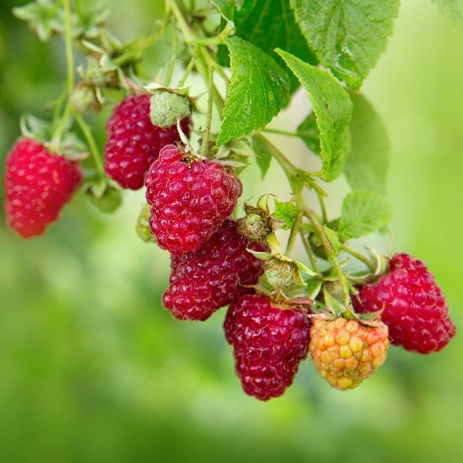 Rubus 'Vintage' Raspberry Image