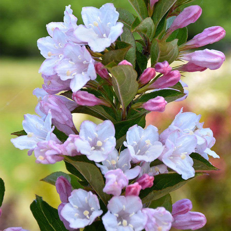 Weigela TOWERS OF FLOWERS® 'Apple Blossom' Image