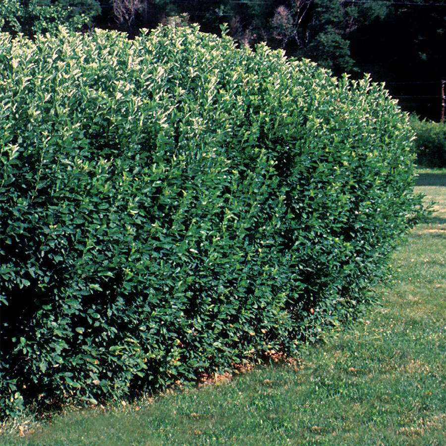 Cotoneaster lucidus Hedge Image