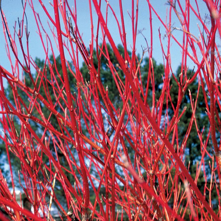 Cornus 'Cardinal' Dogwood Image