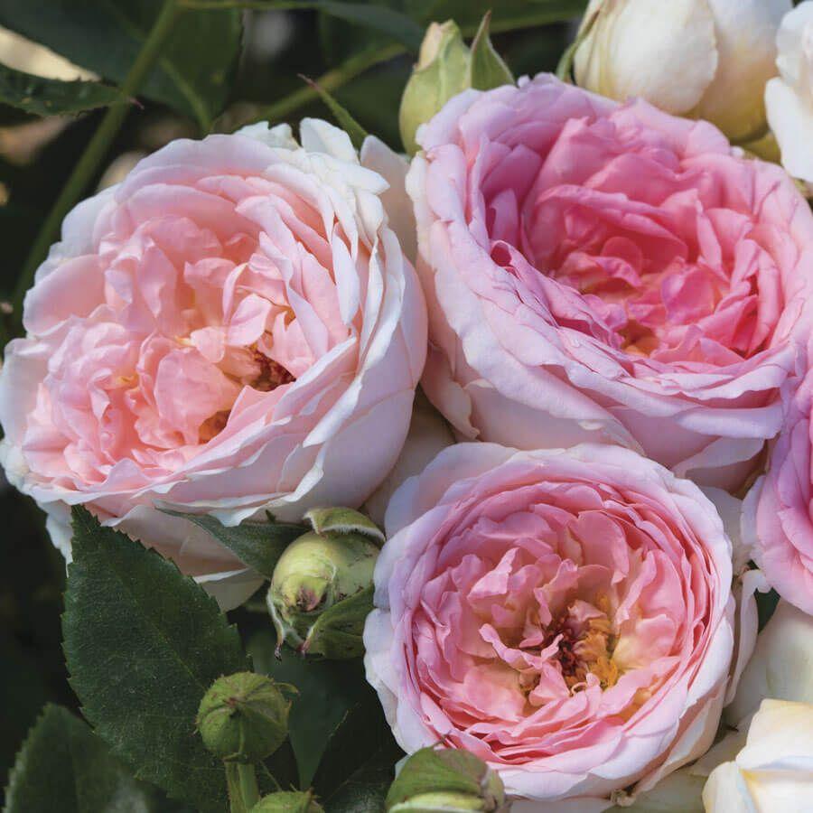 Sweet Rose of Mine Floribunda Rose Image