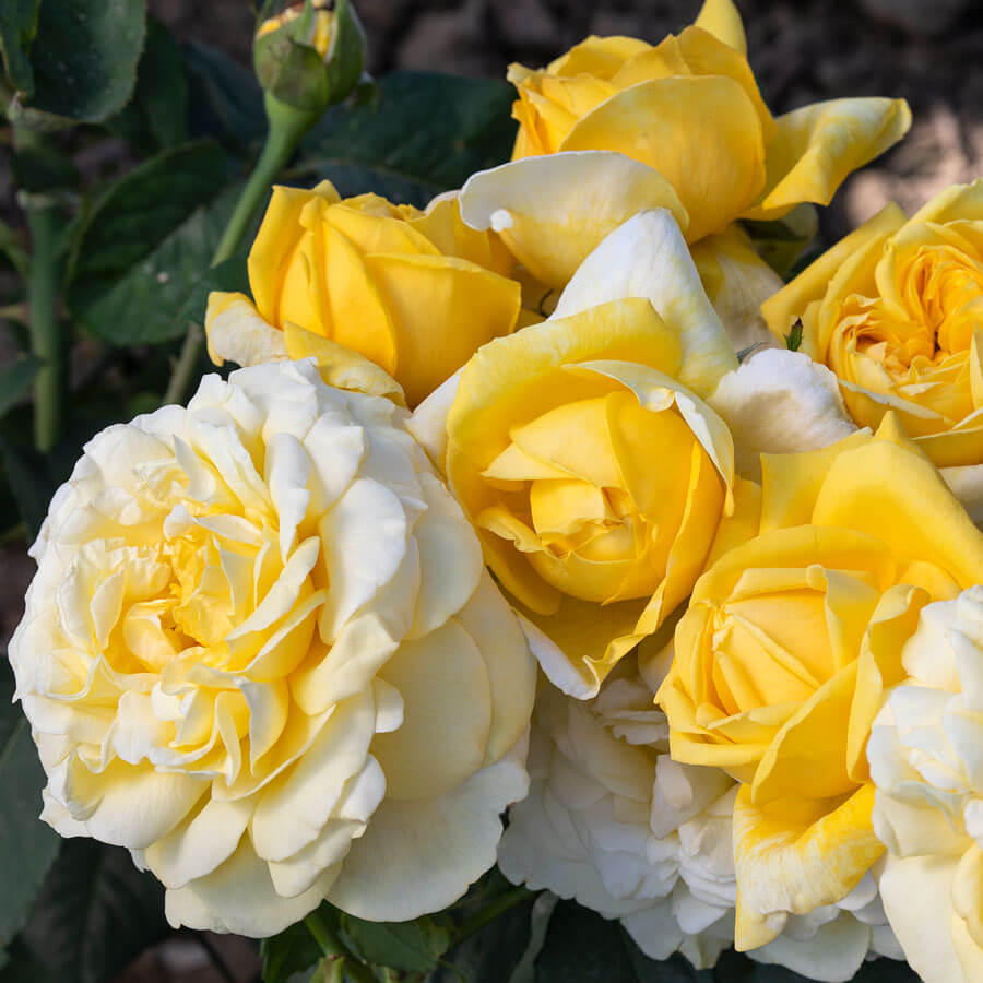 Larger Than Life Hybrid Tea Rose Image