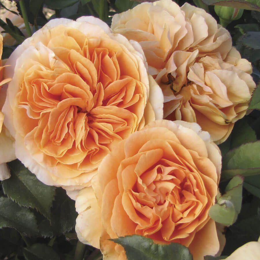 Double Easy Orange Floribunda Rose Image