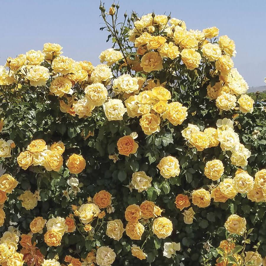 Cup of Gold Climbing Rose Image