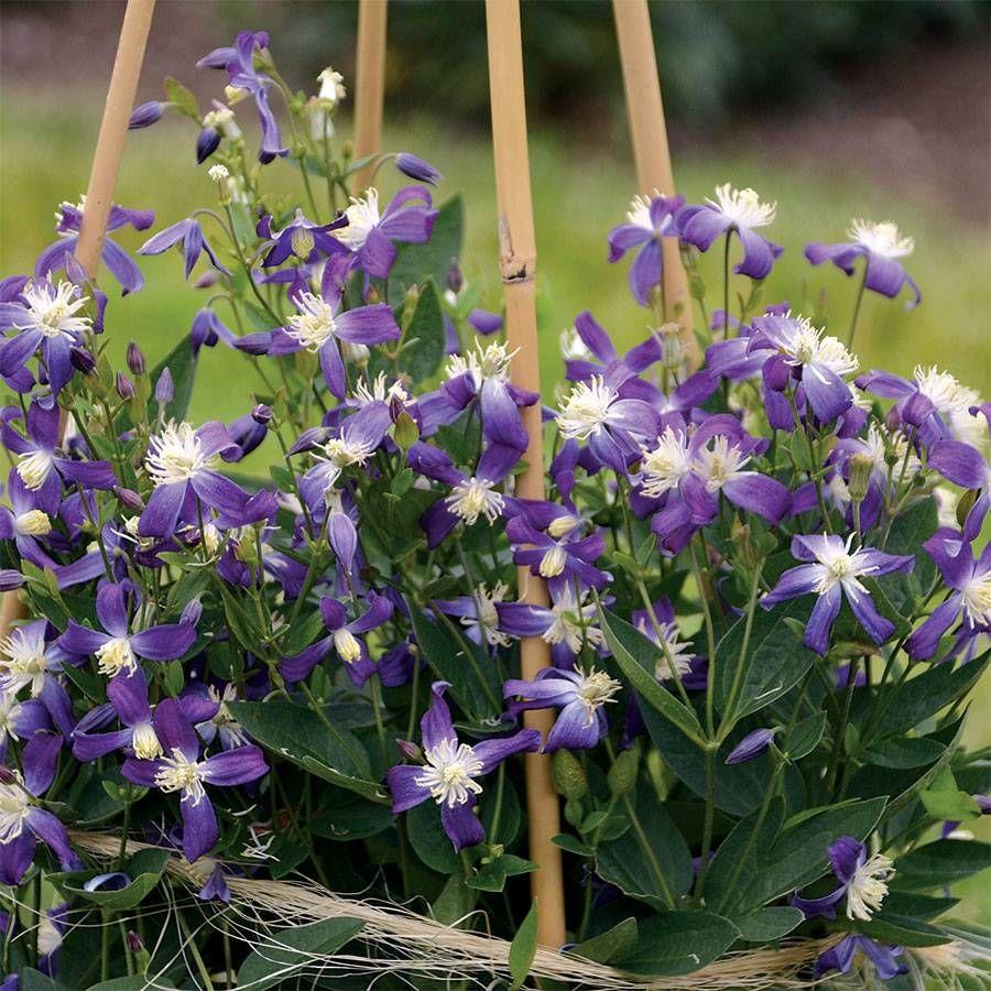 Clematis 'Violet Stardust' Image