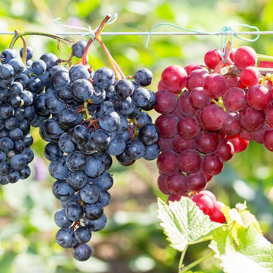Seedless Grape Duo Image