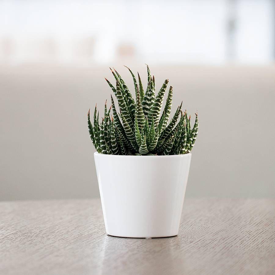 Haworthia Succulent Gift Image