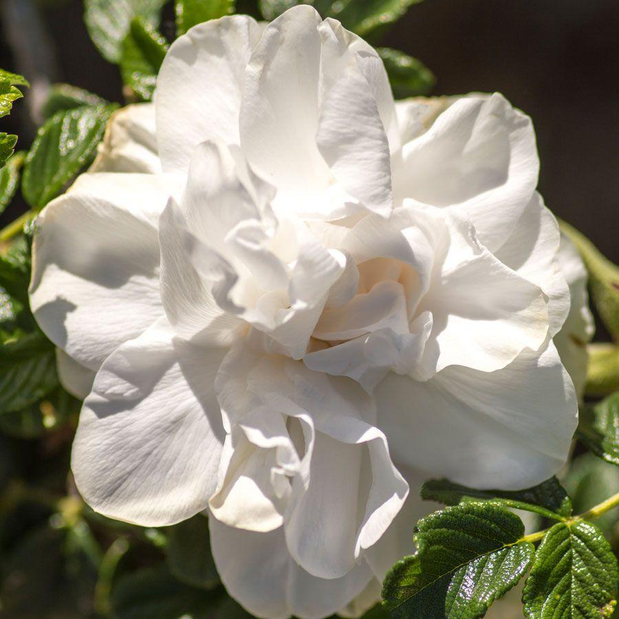 Blanc Double De Coubert Shrub Rose Image