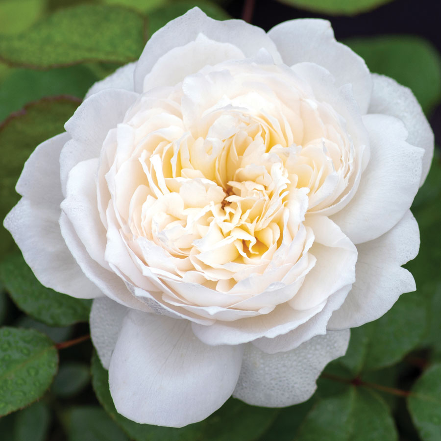 Bolero™ Floribunda Rose Image
