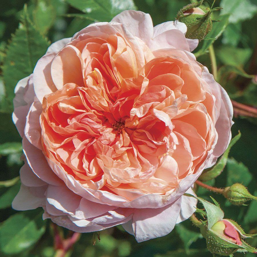 Colette™ Climbing Rose Image