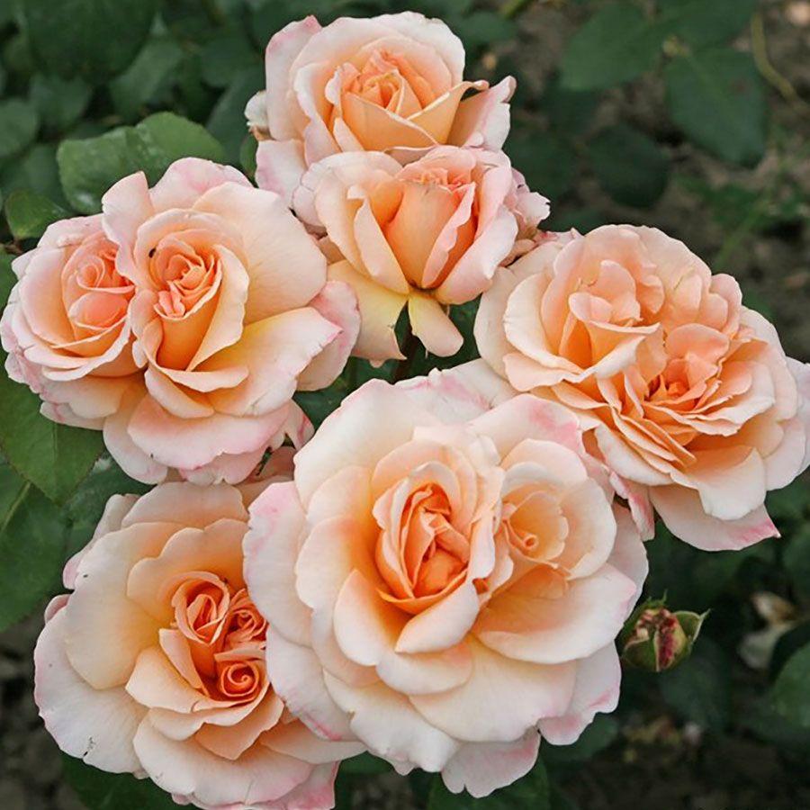 Oh Happy Day  Eleganza® Hybrid Tea Rose Image