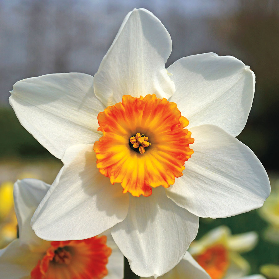 Narcissus 'Jersey Lace' Image