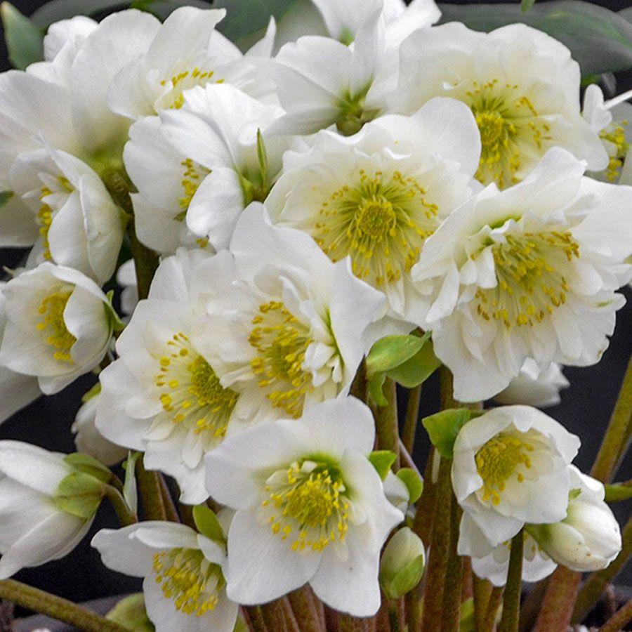 Helleborus 'Snowbells' Image