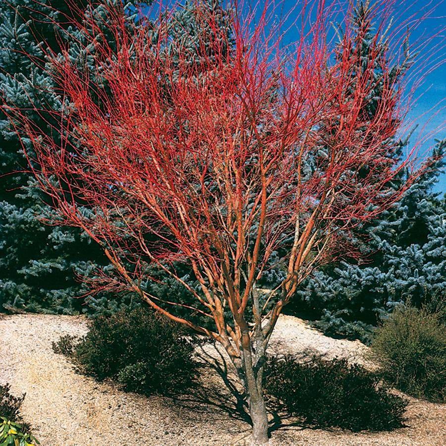 Acer palmatum 'Sango Kaku' Image