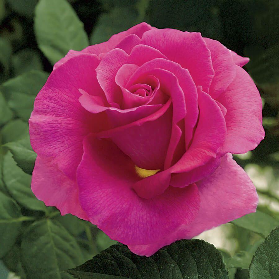 Gentle Giant™ Hybrid Tea Rose Image