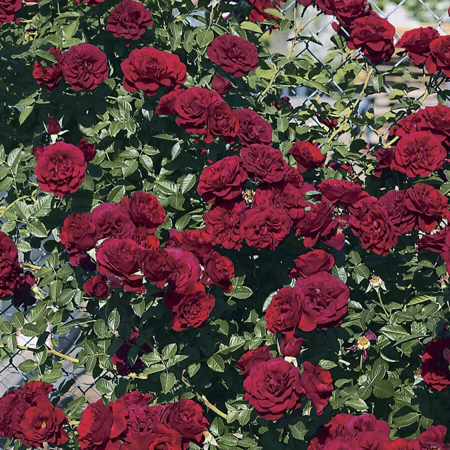 Valentine's Day™  Climbing Rose Image
