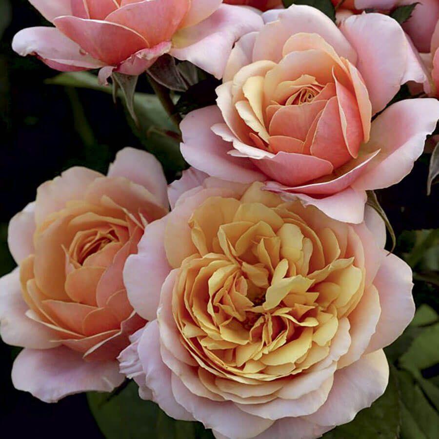 State of Grace™ Grandiflora Rose Image