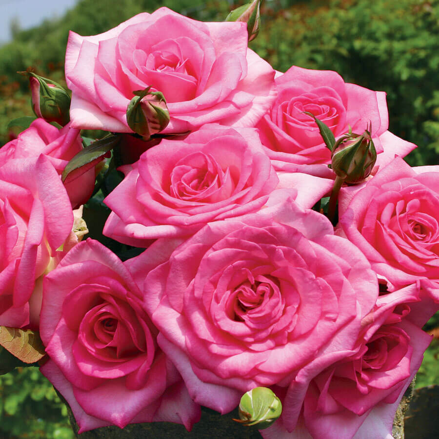 Beverly Eleganza® Hybrid Tea Rose Image