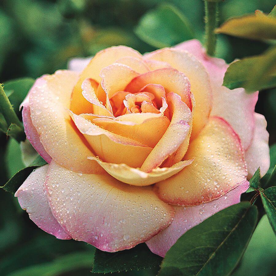 Pink Peace Hybrid Tea Rose Image