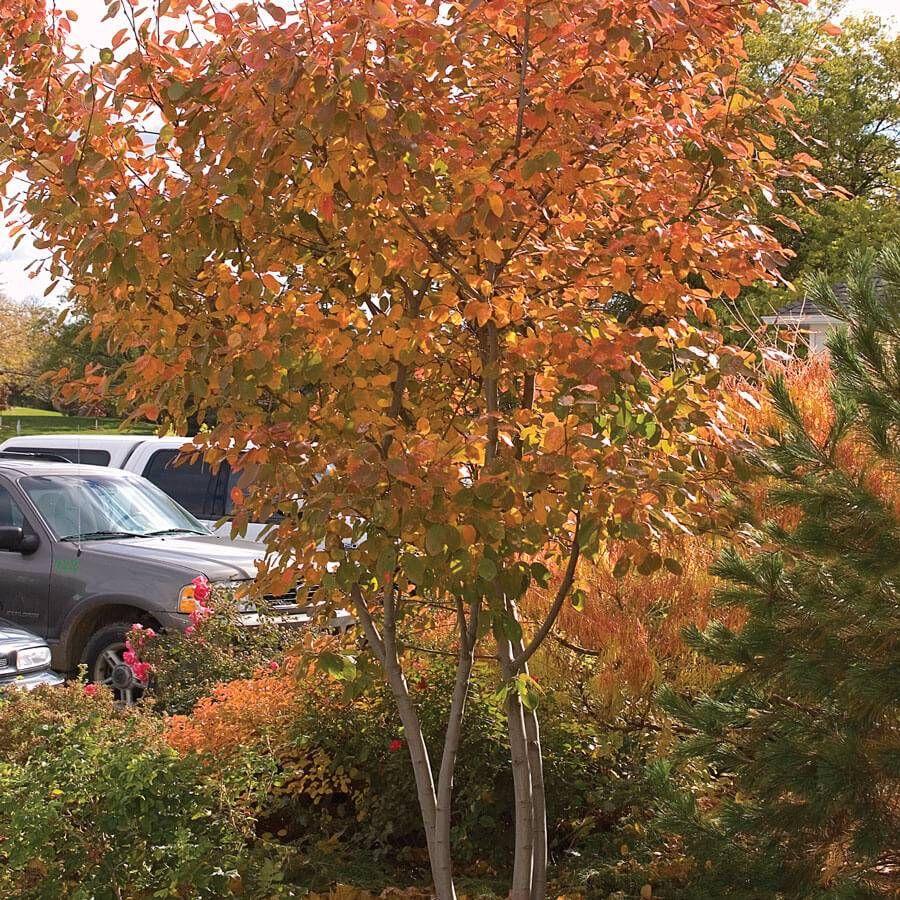 Amelanchier 'Autumn Brilliance' Image