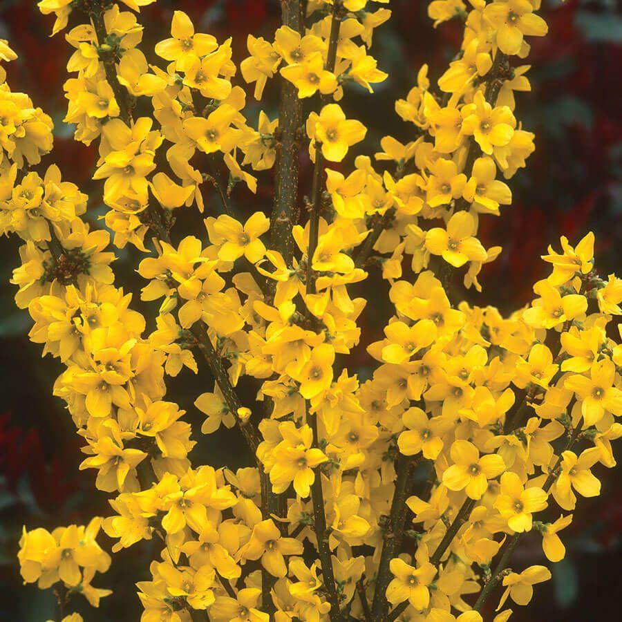 Forsythia Gold Tide® Image