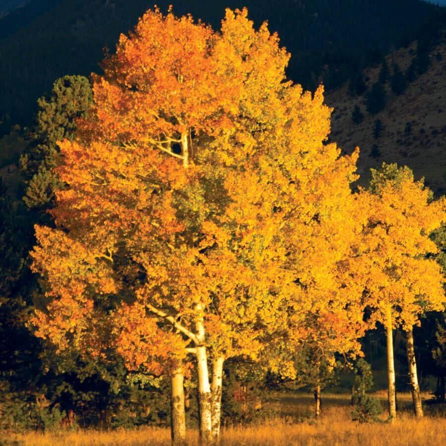 Populus Quaking Aspen Image