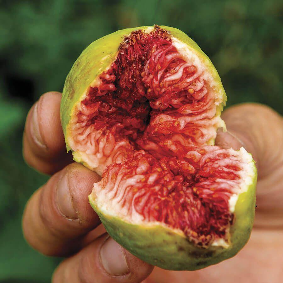 Ficus Stella™ Fig Image