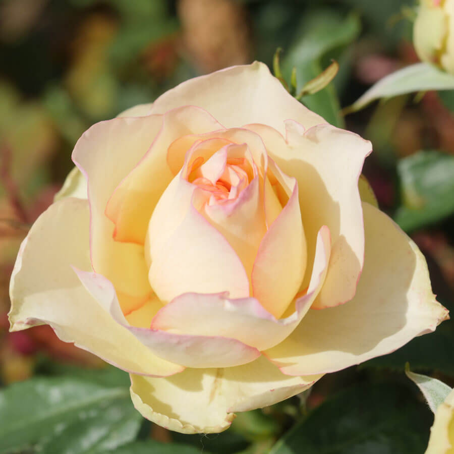 Over The Edge Floribunda Rose Image
