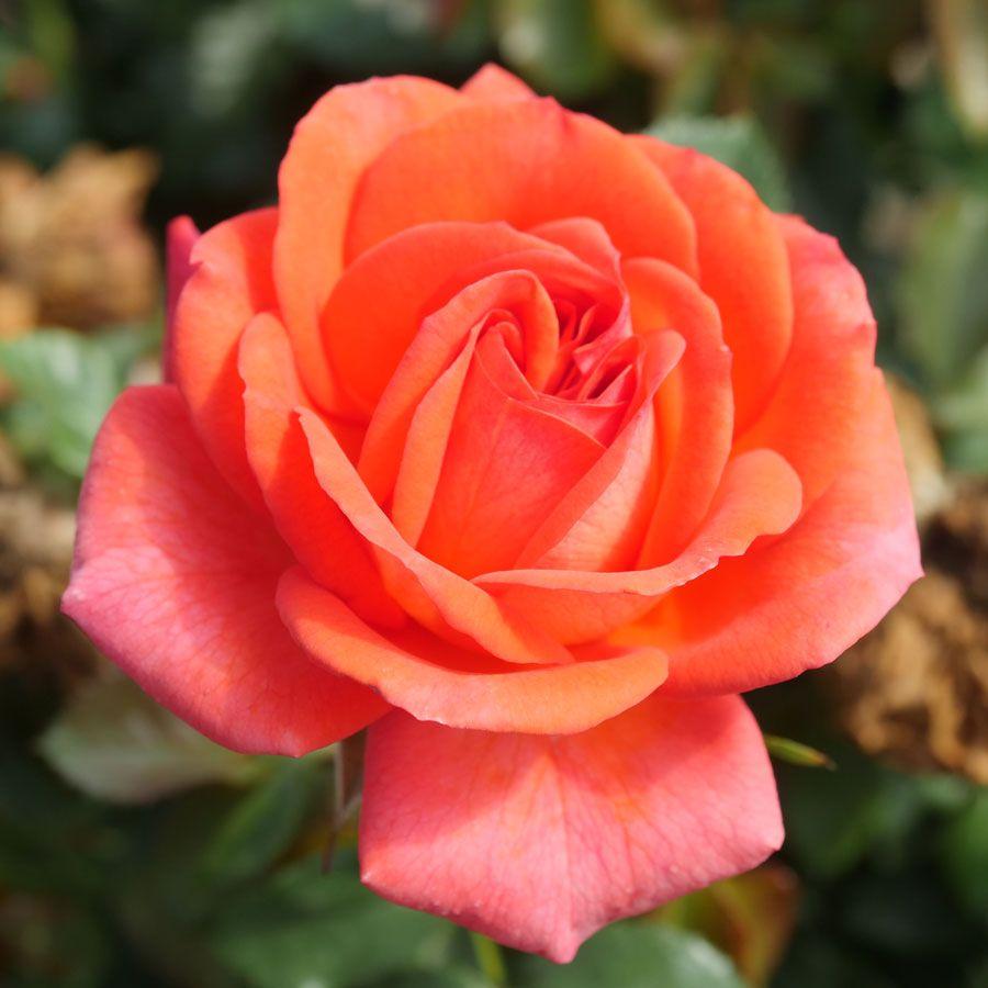 Z336-1 JP 2022 New Exclusive Introduction Floribunda Rose Image