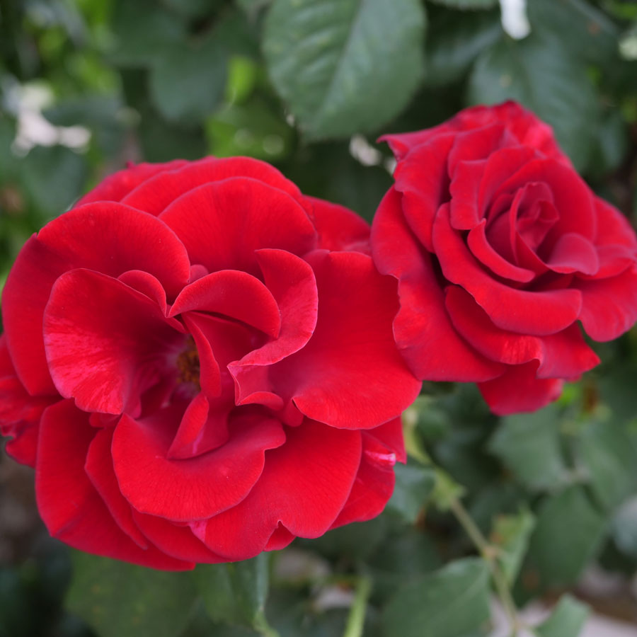 Z903-2  JP 2022 New Introduction Climbing Rose Image