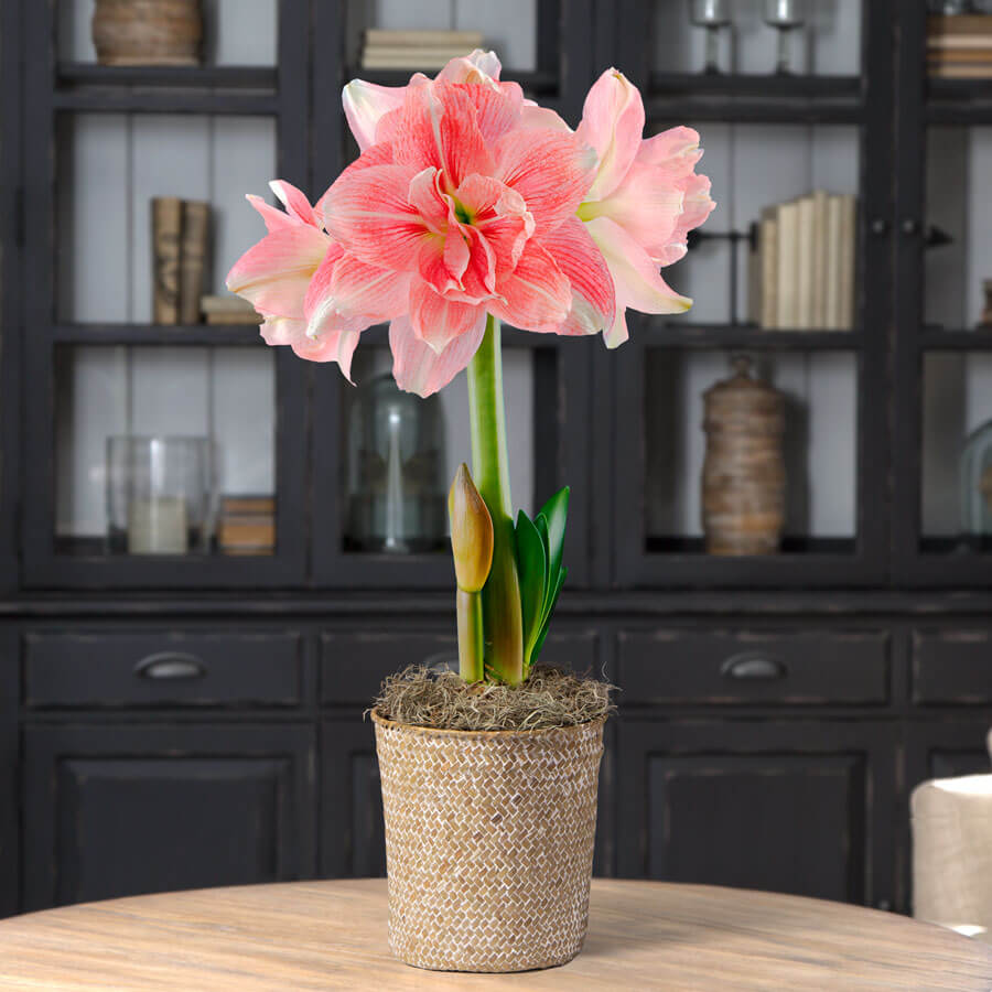 Single Rozetta Amaryllis Image