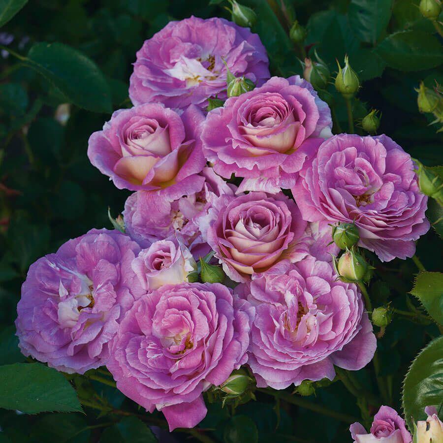 Arctic Blue™ Floribunda Rose Image
