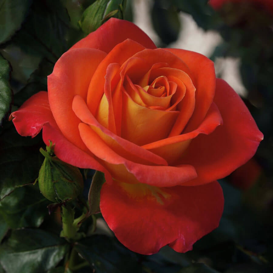 Burst of Joy™ Floribunda Rose Image