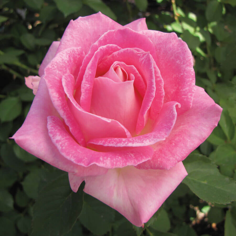 Painted Porcelain™ Hybrid Tea Rose Image