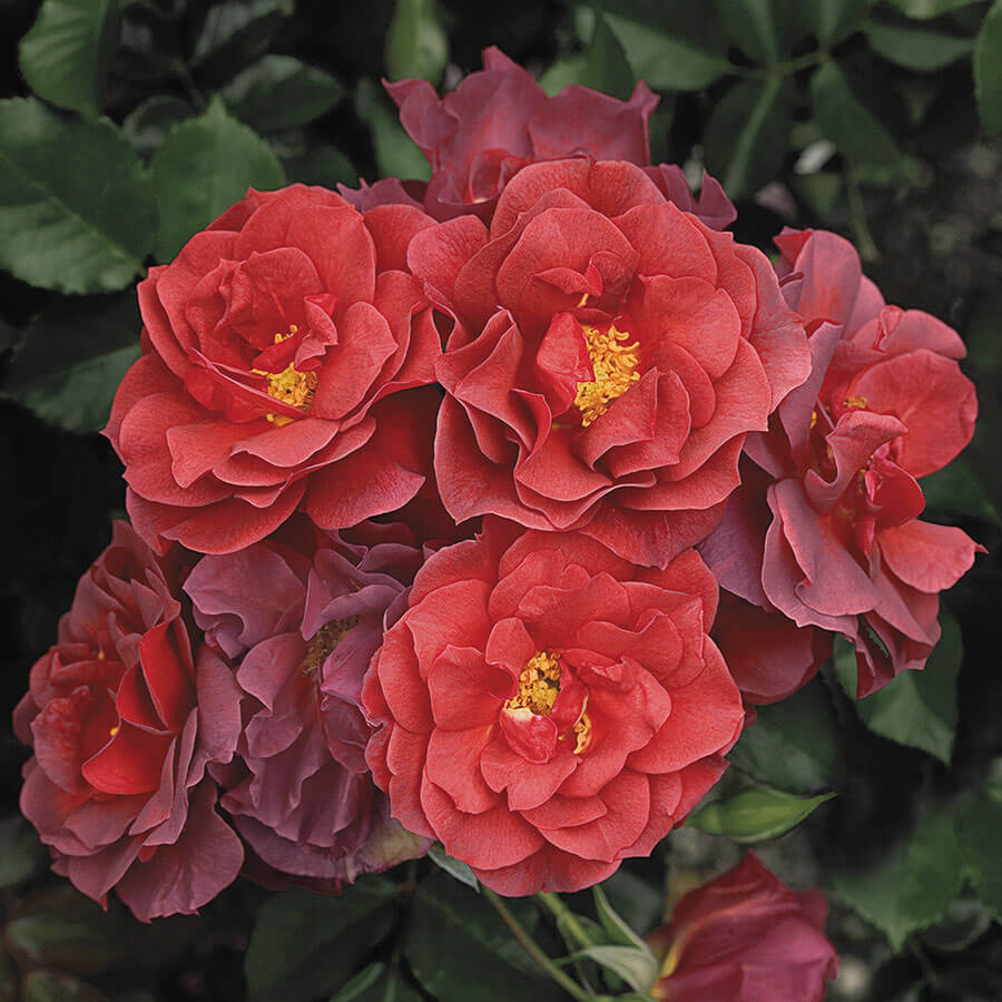 Cinco de Mayo™ Floribunda Rose Image