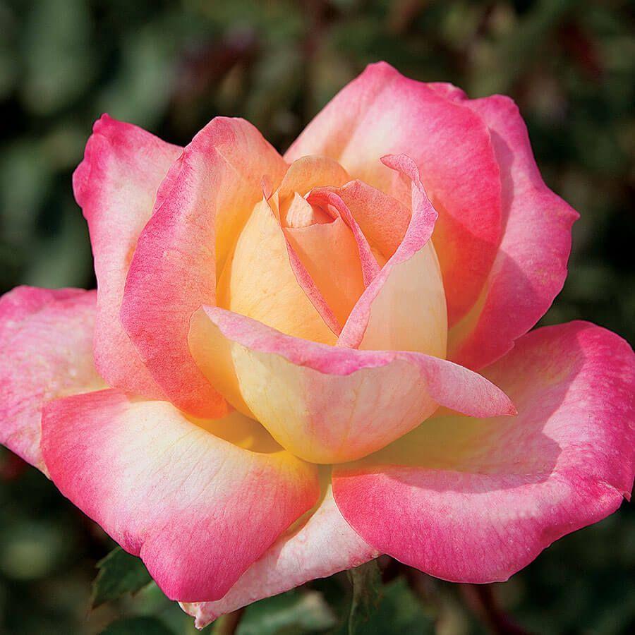 Love & Peace™ Hybrid Tea Rose Image