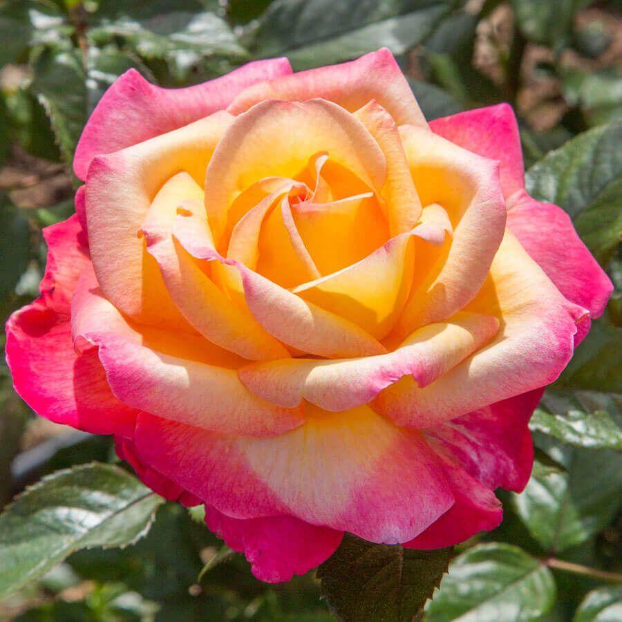 Enchanted Peace™ Hybrid Tea Rose Image