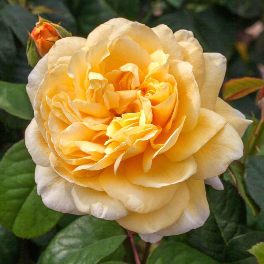 Moonlight Romantica® Hybrid Tea Rose Image