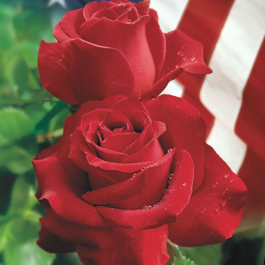 Veteran S Honor 174 Hybrid Tea Rose